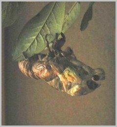 蝉の羽化,背中が割れ上体が出ている