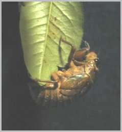 蝉の終齢幼虫