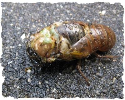 羽化途中に落下した? 蝉の幼虫の死骸