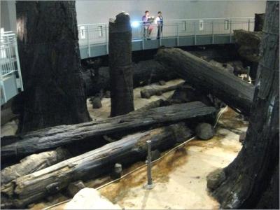巨大スギの根元にとどまり横たわる流木群