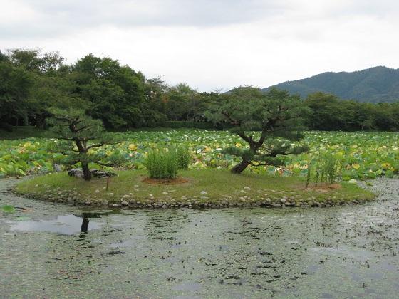 菊が島周りの菱 群生