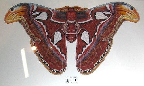 ヨナグニサンの標本