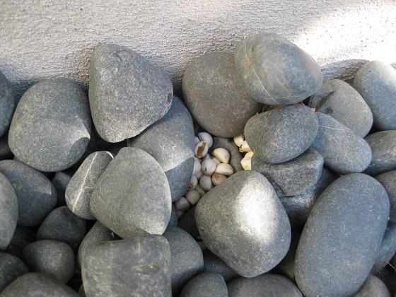 玉石の中のナンキンハゼ種子