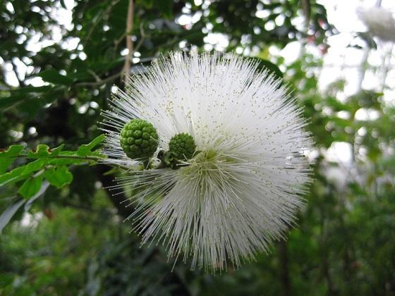 カリアンドラ・ハエマトケファラの白花