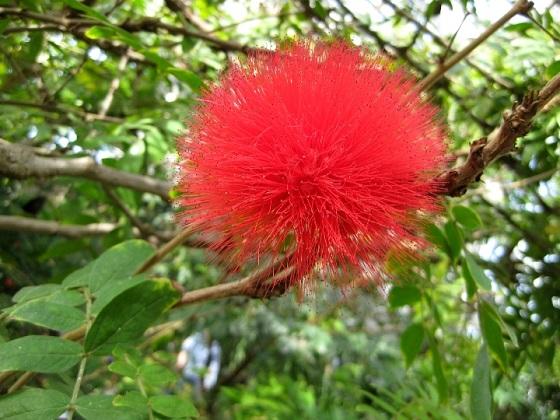 カリアンドラ・ハエマトケファラの赤花