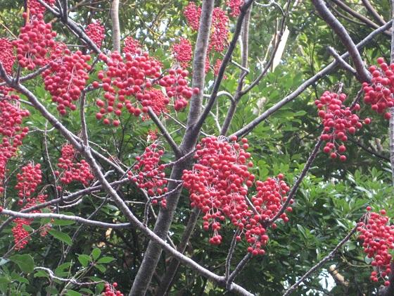 落葉したイイギリの木 完熟した実が生っている