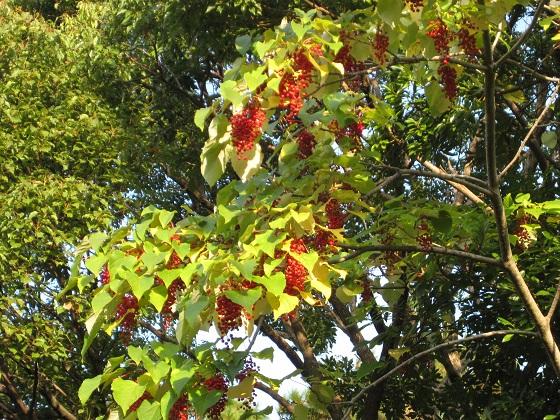 赤い実が生っているイイギリの若い木