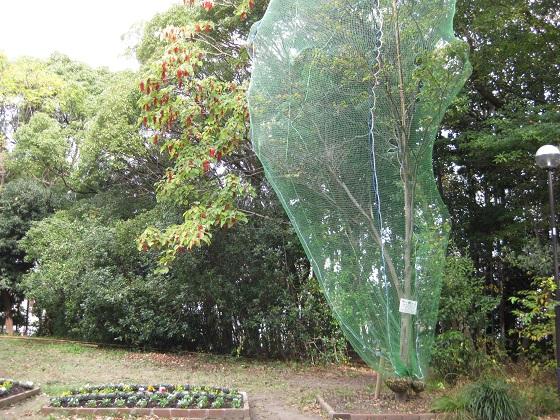 ネットをかけて養生されているヤマボウシの木