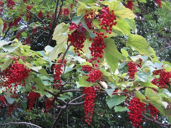 イイギリに赤い実が多数