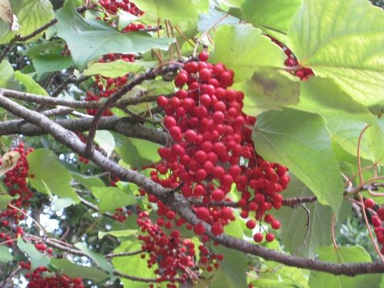 イイギギリの赤い実