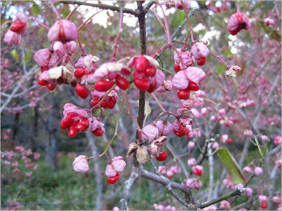 赤い実をつけた檀の木