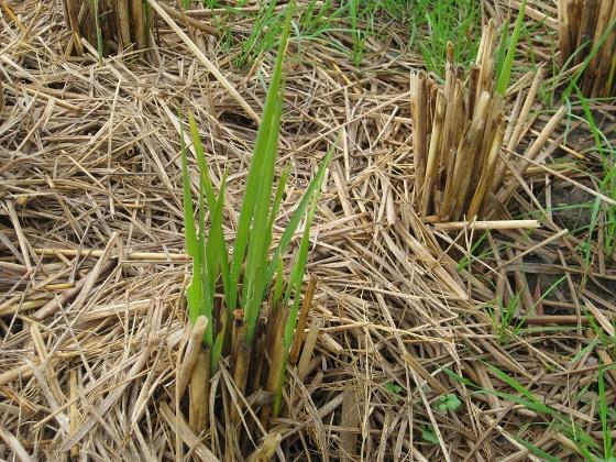 稲の切り株から芽生えたひつじ