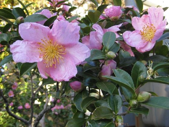 花びらが縮れて咲くサザンカ