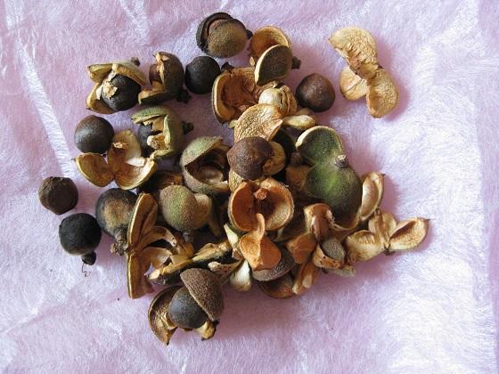 サザンカの果実・種子など
