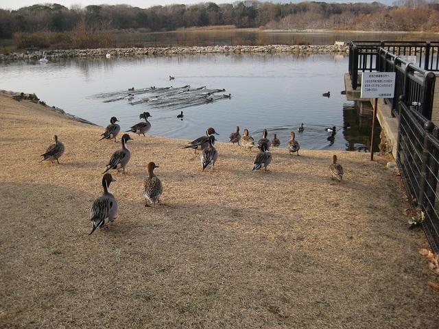 池に勢いよく着水するカモの群れ