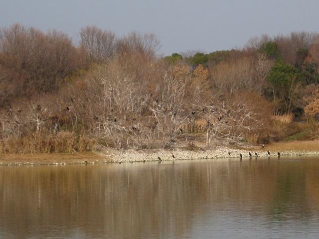 昆陽池の中の野鳥の島 カワウ多数