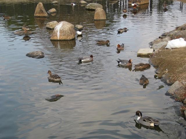 給餌池野鳥観察橋辺りのカモたち