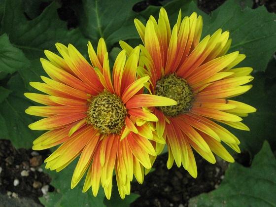 黄色にオレンジ色の覆輪咲きのガーベラ