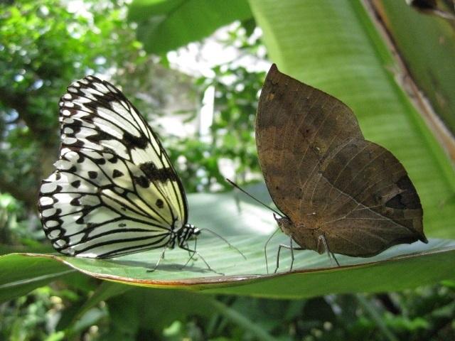 オオゴマダラとコノハチョウ 仕切り、にらみ合い