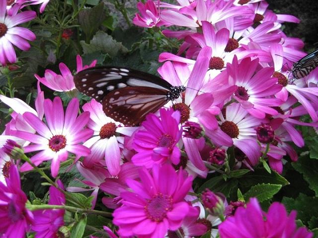 サイネリアの花に止まっている アサギマダラ