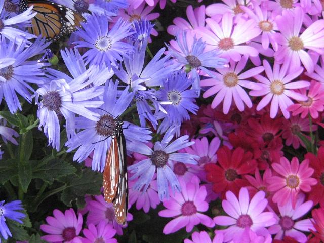 サイネリアの花に止まっている アサギマダラとスジグロカバマダラ