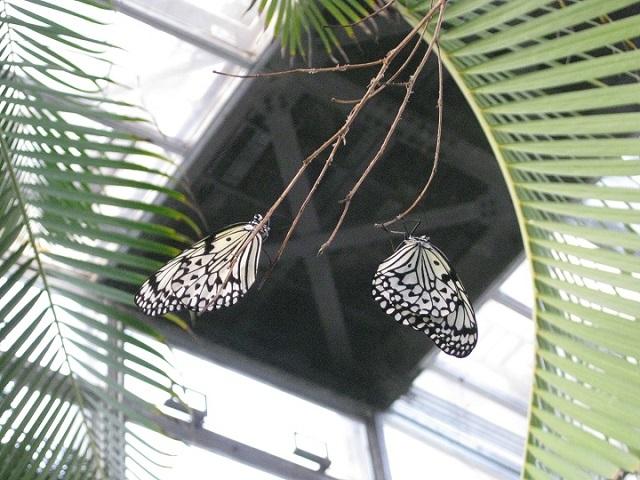 小枝に静止のオオゴマダラ