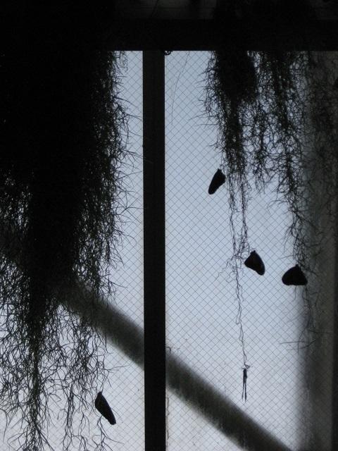 スパニッシュモスにぶら下がって静止のチョウ