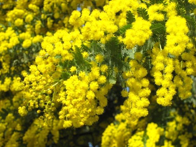 黄金色に耀くギンヨウアカシア