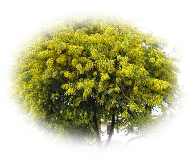 ギンヨウアカシア 大木