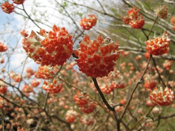 三椏(ミツマタ) 赤花