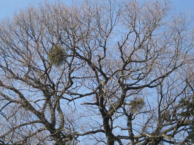 ヤドリギ, 宿られた木