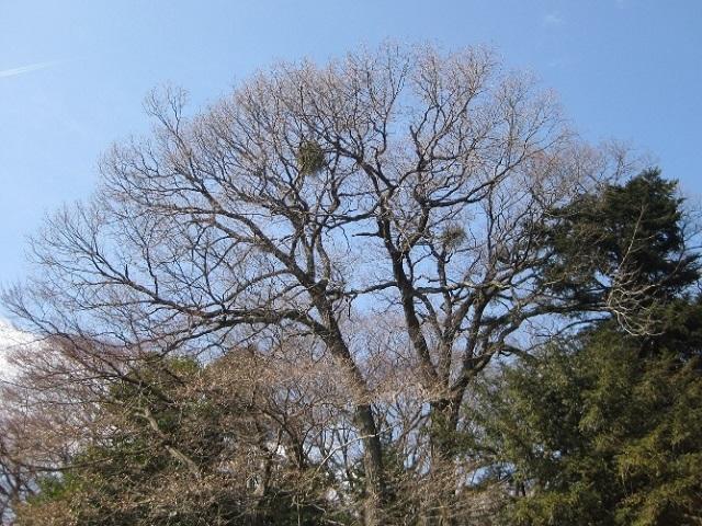 ヤドリギ, 宿られた大木