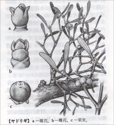 ヤドリギの説明図