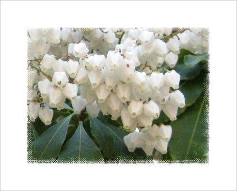 馬酔木(アセビ)の花