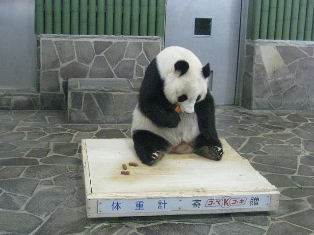 体重測定のパンダ,タンタン