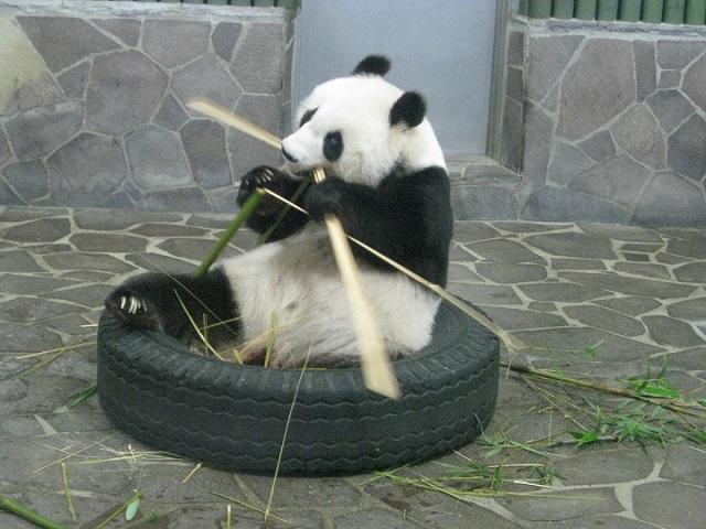 食事中のパンダ,タンタン