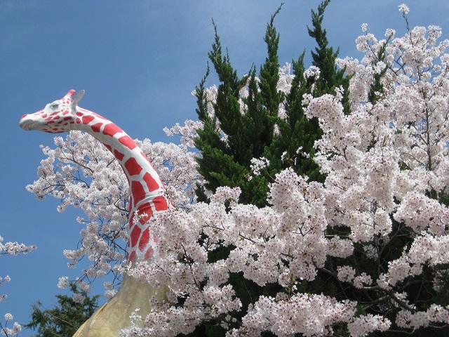 キリン像と桜