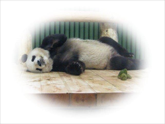 寝ながら「うんち」するパンダ・コウコウ 1
