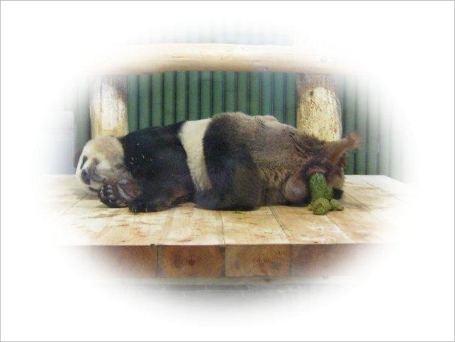 寝ながら「うんち」するパンダ・コウコウ 2