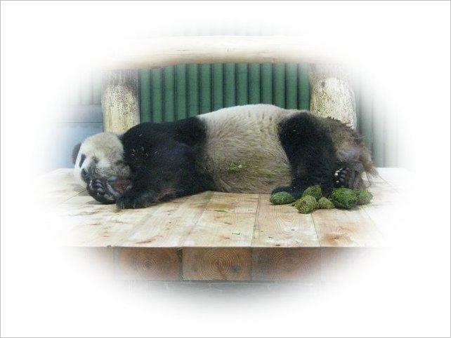 寝ながら「うんち」するパンダ・コウコウ 3