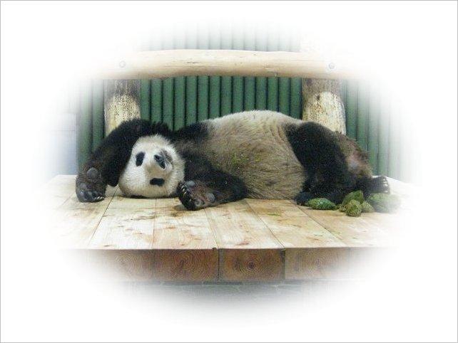 寝ながら「うんち」するパンダ・コウコウ 4