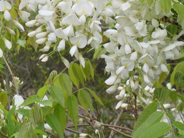 藤・フジの白花