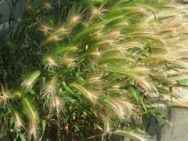 麦のような草
