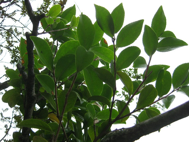 サザンカの木の上部