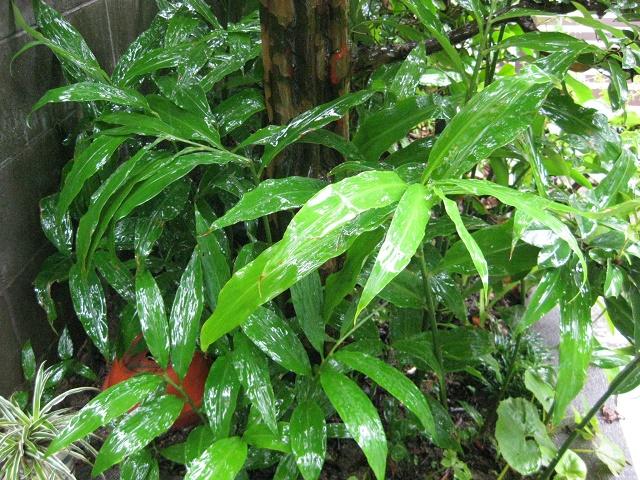 雨中のみょうがの葉