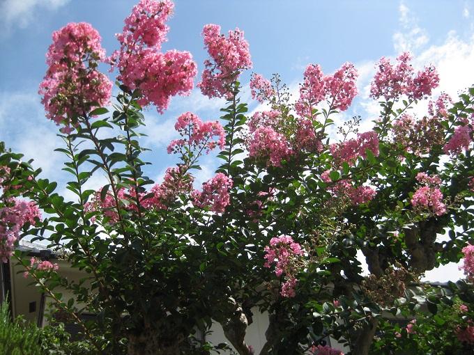 サルスベリ 花咲く
