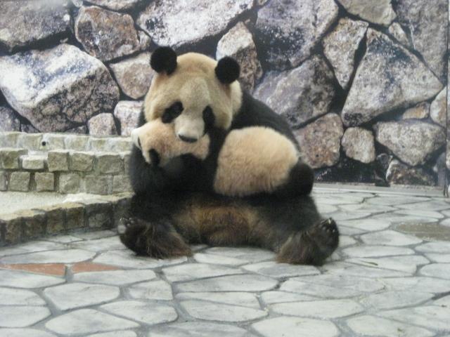 良浜 赤ちゃんパンダを口にくわえて