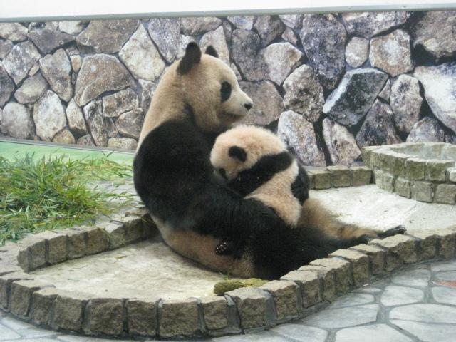 良浜 赤ちゃんパンダを抱っこ