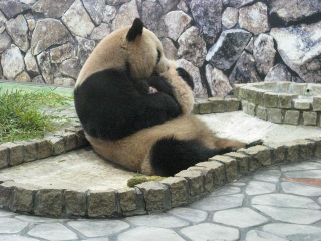 良浜 赤ちゃんパンダのお尻をなめる