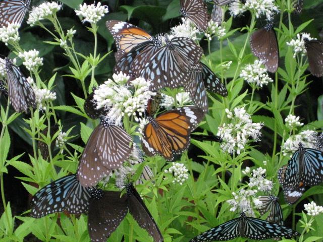 フジバカマの花の蜜を吸うチョウたち 1
